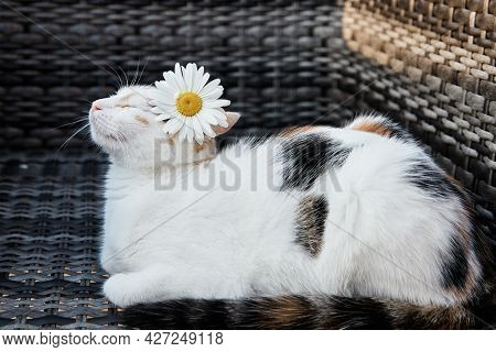 A Cute Tricolor Cat, A Kitten Lies On An Armchair With A Chamomile Behind Its Ear. Funny Animals. Un