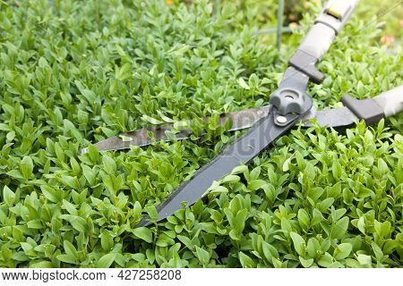 Close Up Scissors For Cutting Bushes Over A Boxwood Bush. Trimming Bushes In The Garden