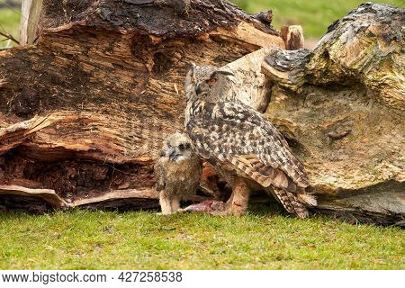 A Six Week Old Owl Chick Eagle Owl With Its Mother. A Piece Of Bloody Meat From The Prey Lies On The
