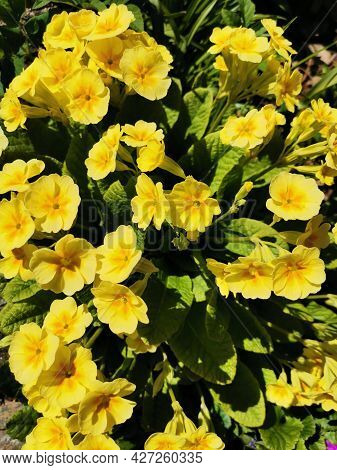 Beautiful Of Spring Primroses Flowers Primula Polyanthus Or Perennial Primrose With Green Leaves Und