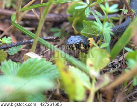 Portrait Of A Grass Snake In The Nature. Harmless Small Snake, Natrix Natrix. Grass Snake In The Mea