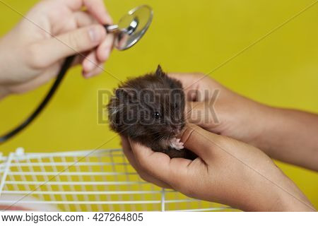A Small Syrian Hamster Is Examined By A Doctor.