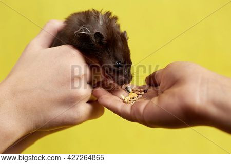 A Syrian Hamster Eats Out Of His Hand On A Yellow Background.