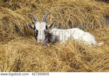 A Small White Goat Is Lying In The Hay In The Aviary. Baby Goat. Photo