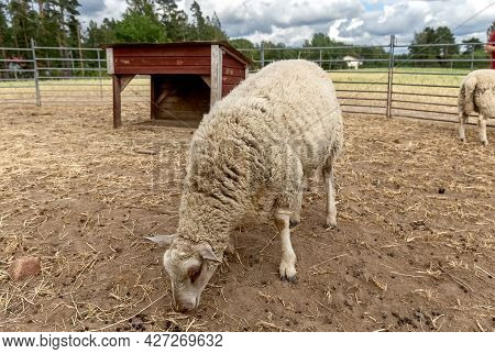 Beige Sheep In The Paddock For A Walk. White Lamb In An Aviary. Romanov Breed. Photo