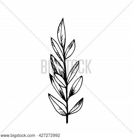 Macro Young Foliage Twig Isolated On White. Vector Leaf Branch Floral Plant. Sketch Hand Drawn Desig