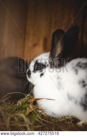 White Domestic Rabbit Eating Straw In A Wooden Hutch And Well Fed For Later Killing. Oryctolagus Cun