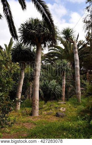 Different Types Of Palm Trees And Other Tropical Vegetation In A Park In Costa Calma, Fuerteventura,
