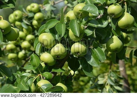 Growing And Harvesting Pears. A Lot Of Sugar Green Peas Ripening On A Pear Tree In The Orchard In Su
