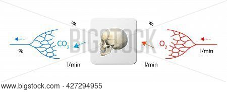 Human Bloodstream - Skull, Didactic Board Of Anatomy Of Blood System Of Human Circulation, Cardiovas