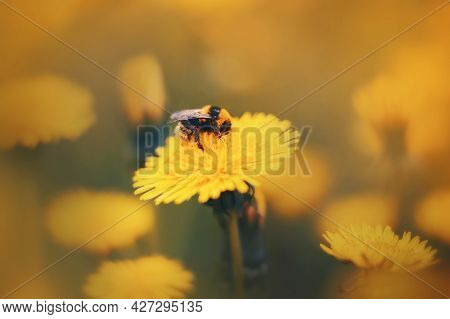 A Cute Fluffy Striped Bumblebee Collects Pollen And Nectar From A Bright Yellow Dandelion Flower Blo