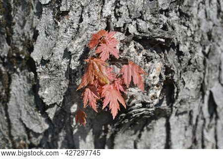 Silver Maple New Leaves - Latin Name - Acer Saccharinum