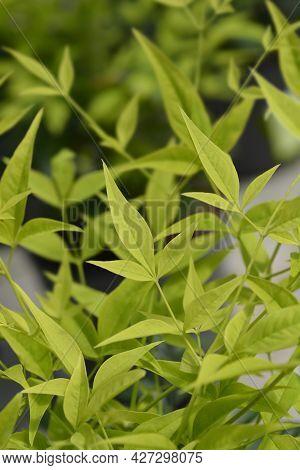 Heavenly Bamboo Lemon Lime Leaves - Latin Name - Nandina Domestica Lemon Lime