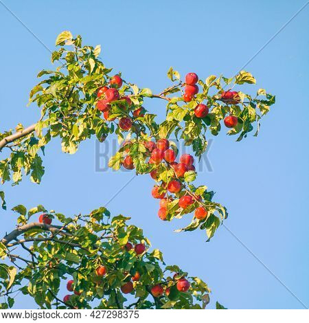 Red Apples On The Branches In The Garden Against The Blue Sky. Selective Focus