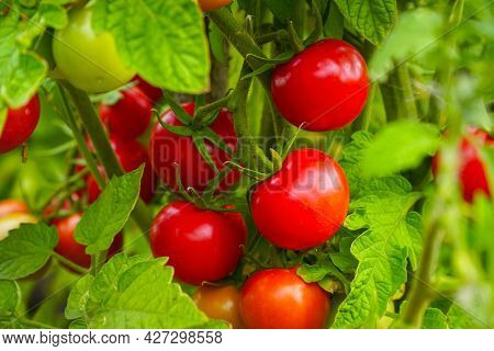 Beautiful Ripe Red Tomatoes On A Bush In The Garden