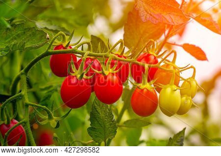 Beautiful Ripe Red Tomatoes In The Sunlight On A Bush In The Garden