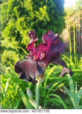Beautiful Purple Iris Flower Close-up. Garden Flowers. Floral Background