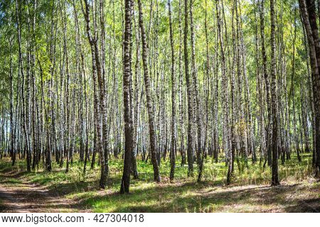 Beautiful autumn birch forest. Colorful bright bark of white birch tree over yellow grass background.