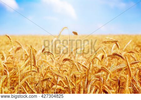 Golden Ears Of Wheat Cereal Crop. Agricultural Field. Autumn Harvest Of Grain. Farming And Agricultu