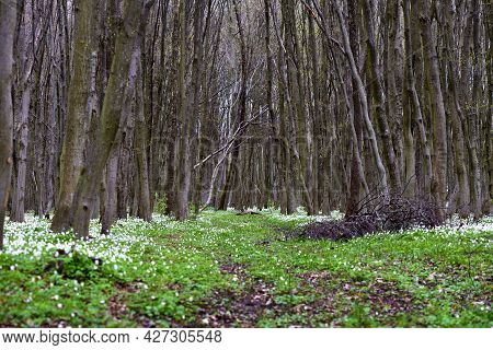 Beautiful Spring Forest. Anemone Nemorosa Flowers In The Spring Forest
