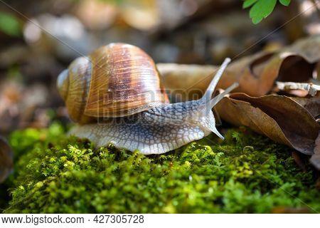 Burgundy Snail (helix Pomatia, Roman Snail, Edible Snail, Escargot) On The Green Moss. Close-up Imag