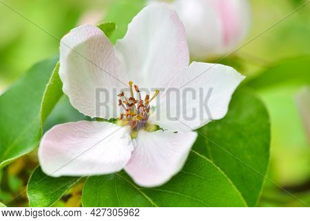 Closeup Of Single White Quince Flower (cydonia Oblonga) On A Natural Background