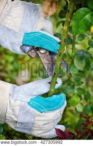 Pruning Roses In The Garden, Gardener's Hands With Secateurs
