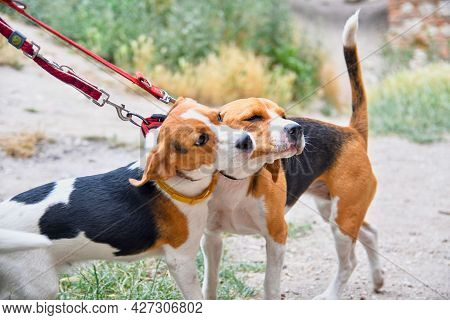 A Cute Beagle Puppy Kisses Her Mom. Beagle Dogs Playing Outdoors