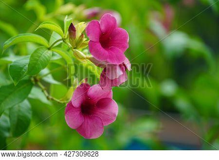 Allamanda Blanchetii , Purple Allamanda. Scientific Name Is Allamanda Blanchetii A. Dc. , Allamanda