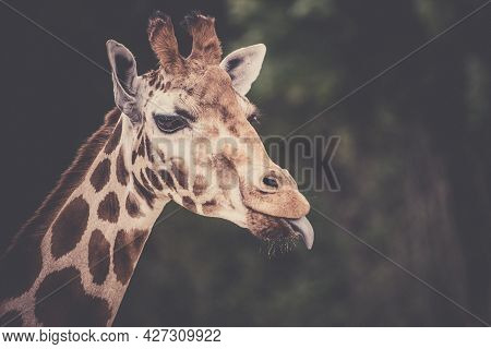 Cute Giraffe Portrait With Tongue Lolling Out.