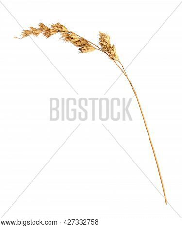 Dry Natural Grass Isolated On A White Background