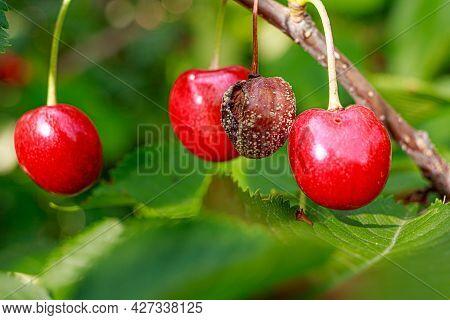 Rotten Cherries On A Fruit Tree Among Healthy Normal Ripe Berries. Diseases Of Trees.
