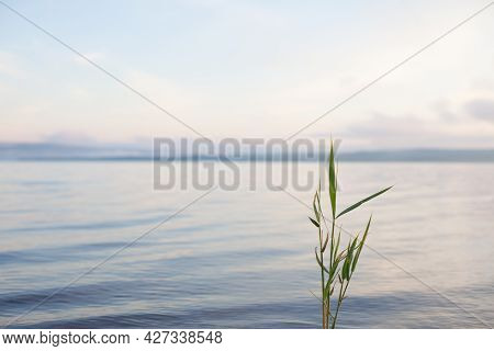 Alone Green Stalk Of Greater Pond Sedge Against Blurred Water Background In Pastel Tones. Nature Sum
