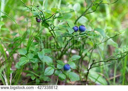 Ripe Dark Blue Bilberry Or Vaccinium Myrtillus Or European Blueberry On The Bush In Summer Forest. S