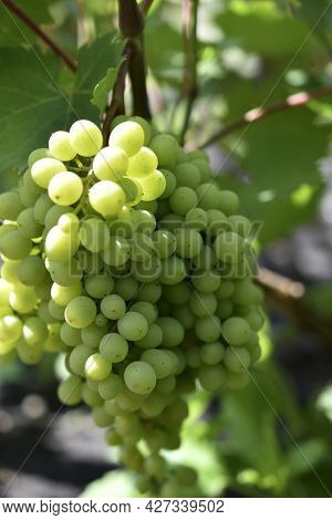 Green Young Grapes In The Garden In Summer