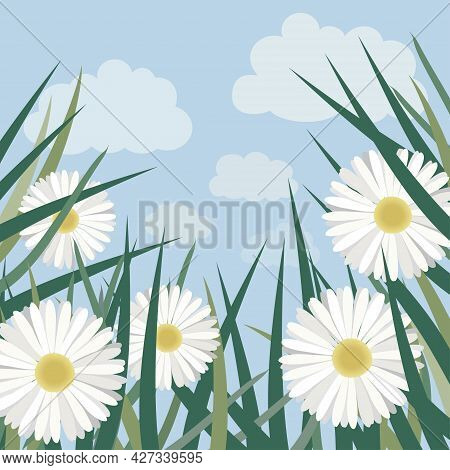 Chamomile Blooming In The Grass. Vector Illustration