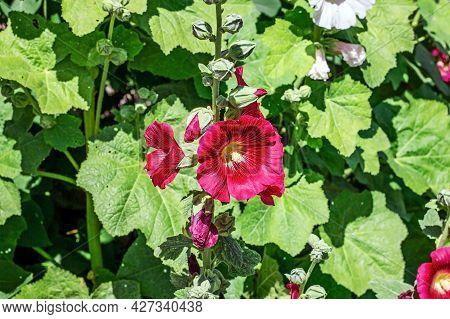 Fresh Blossom Bright Pink Hollyhock (alcea Rosea, Malva, Mallow) Flowers In The Garden In Summer.