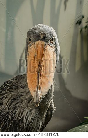 Shoebill,balaeniceps Rex, Also Known As Whalehead Is A Large Tall Bird And Lives In Tropical East Af