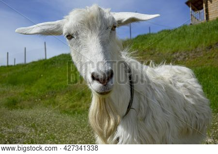White Hornless Goat Close-up, The Animal Has No Horns And A Long Beard, The Goat Grazes On A Green M