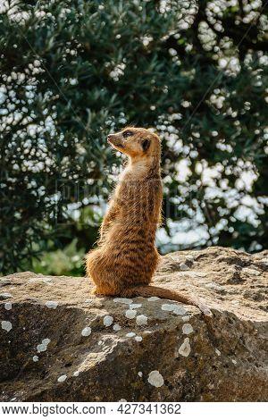 Cute Meerkat (suricata Suricatta) Or Suricate Standing On Rear Legs. Small Funny Mongoose Watching S