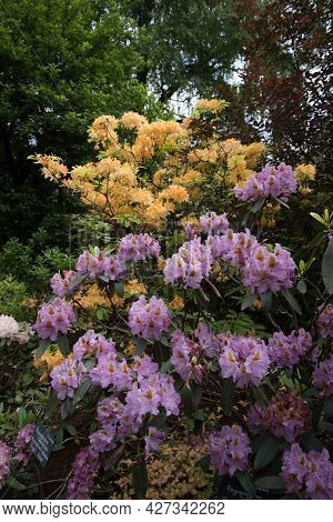 Large Pink-brown Rhododendron Flowers. A Beautiful Evergreen Plant