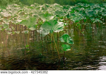Thickets Of Leaves Of Aquatic Plants Of Butterbur In The Water Near The River Bank