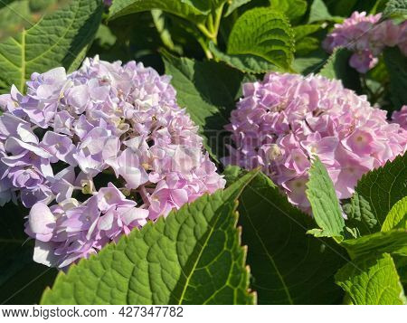 Small Purple With Pink Blooming Delicate Gartens Large-leaved Flowers Beautiful Fluffy Unusual Exoti