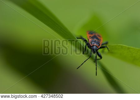 Spilostethus Pandurus. Bug Soldier On A Green Background Close-up. Macro Nature. The Insect Sits On