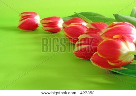 Tulips On Green Backround