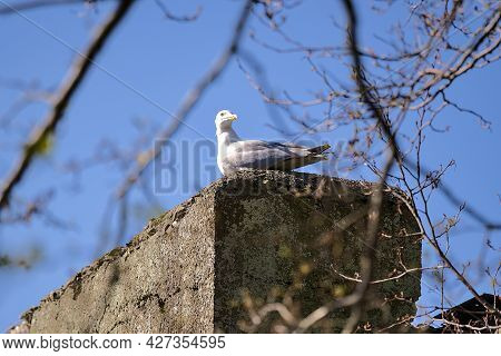 Beautiful Bright View Of Single Large Common Sea Gull (larus Canus) Sitting And Resting On Concrete