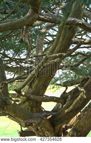Beautiful Closeup View Old Of Coniferous Tree With Complicated Trunks And Branches With Needles Seen