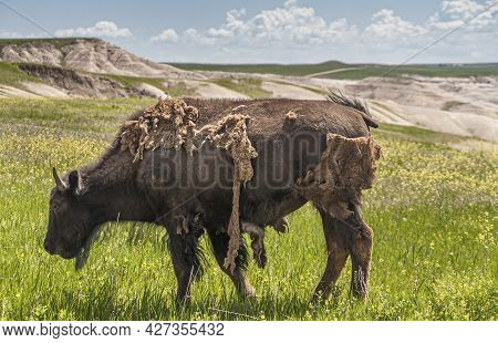 Badlands National Park, Sd, Usa - June 1, 2008: Closeup Of Young Bison Losing Its Winter Custome Sta