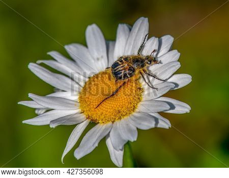 A Colorful Bee-mimic Beetle Photographed On A Beautiful Daisy In The Wisconsin Northwoods.