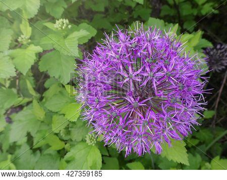 Purple Allium Giganteum Spherical Beautiful Flowers On A Blurred Garden Background